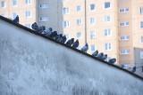 Kłopot z gołębiami na osiedlu w Zielonej Górze. Czytelniczka: wciąż wszystko brudzą, w kółko musimy myć okna i balkony. Czy ktoś nam pomoże?