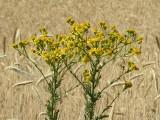 Lasy Państwowe ostrzegają. To ta znana w Polsce roślina jest silnie toksyczna i rakotwórcza!