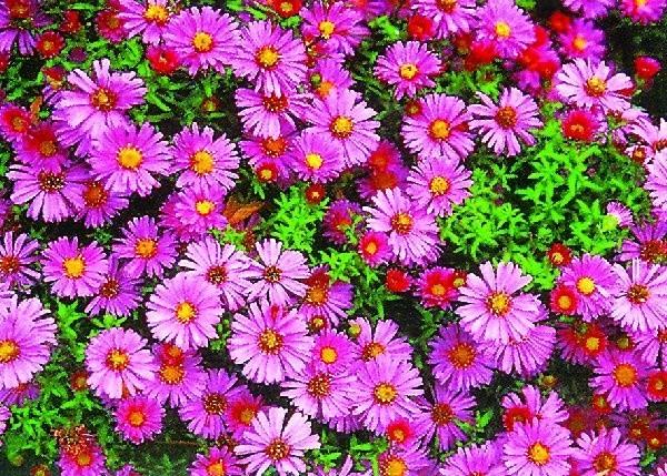 """Aster novii-belgii """"Diana"""" - kwiaty tej odmiany  można najwcześniej ścinać na bukiety"""