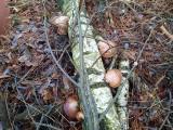 Zielona Góra. Teraz na grzyby? Dlaczego nie? Rosną w lesie? A jakże i to jadalne. Można ugotować zupę, marynować, przyrządzać w panierce