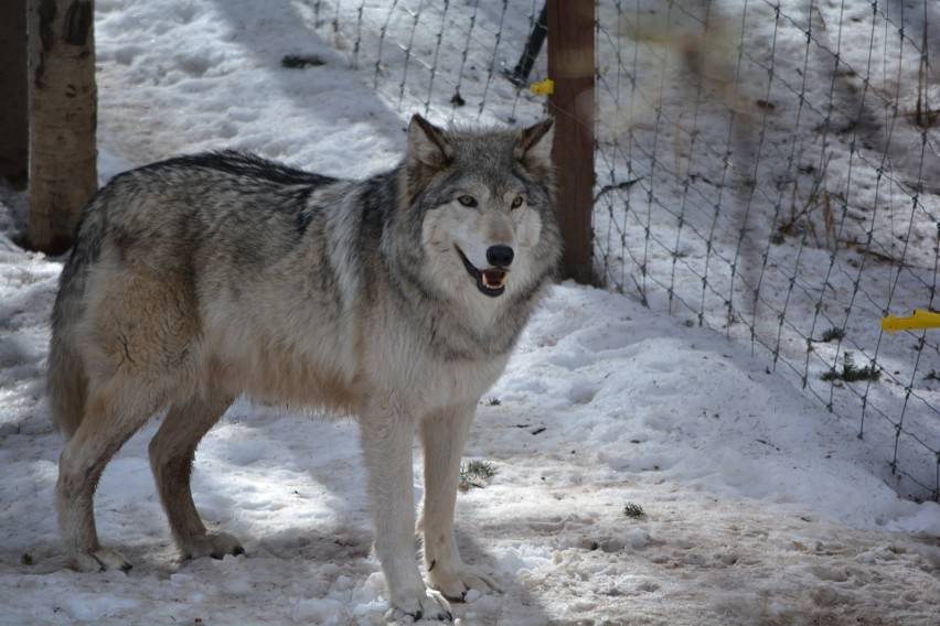 Wilki w Białowieży! Jeśli nie odstraszanie to może odłowienie. Szukają sposobu na chodzącego po ulicach wilka (zdjęcia)