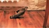Mieszkanka Potulic uratowała krogulca. Ptaka zaatakowały koty