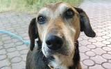 Kto adoptuje Rudka? Właścicielka psa zmarła, Rudek od tygodni nie może znaleźć nowego domu. Grozi mu psia depresja