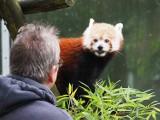Łódzkie pandy rude wsparły swoich krewnych na wolności