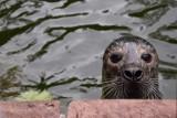 Śmierć foki w poznańskim zoo. Radny Grześ pyta o brudną wodę i niedowagę