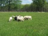 Owce we Wdzydzkim Parku Krajobrazowym. Rozpoczął się kontrolowany wypas owiec i kóz