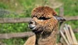 Alpaki można kupować, ale tylko te zdrowe. Najlepiej od sprawdzonych hodowców