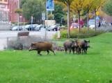 Obława na dziki... w centrum Goleniowa. Ukryły się między blokami