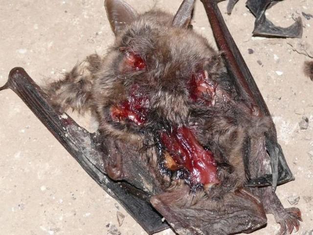 Masakrą nietoperzy zajmuje się już policja. W podziemiach MRU naukowcy znaleźli 204 zabite ssaki, m.in. widoczne na zdjęciu nocki duże.