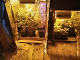 Miał plantację marihuany pod Toruniem! Teraz grozi mu więzienie
