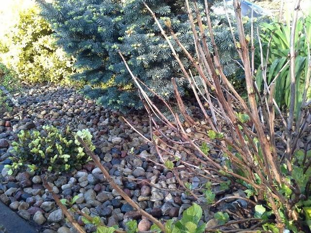 Przymrozki są szczególnie niebezpieczne dla takich roślin jak azalie, czy hortensje.
