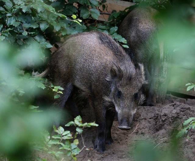 Dziki często zakradają się na działki - zdjęcie ilustracyjne