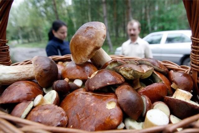 Chociaż połowa października to zwykle już zmierzch sezonu grzybowego, w wielkopolskich lasach nadal jest co zbierać. Prezentujemy najnowsze doniesienia grzybiarzy z serwisu Grzyby.pl, którzy wskazują, gdzie w okolicach Poznania i w Wielkopolsce w ostatnich dniach można było znaleźć sporo grzybów. Dane pochodzą z ostatniego weekendu, czyli 11-13 października 2019 roku. Zobacz gdzie są grzyby w Wielkopolsce ----->