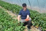 W Bielinach są już pierwsze truskawki! Jakie zbiory i jakie ceny w tym roku? [WIDEO]