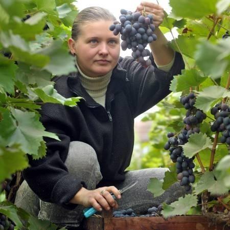 Kinga Kowalewska-Koziarska ścina winogrona, które potem trafiają do dalszej obróbki. W ub. roku wino gronowe z winnicy Kinga zdobyło tytuł Perły na poznańskich targach