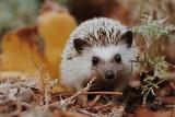 Kto już chrapie w lesie? Wielkim śpiochem jest popielica. W zimowy sen zapada borsuk, nietoperz hibernuje. Jak zimują jeże i wilki?