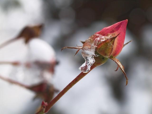 Pierwsze przymrozki Już dziś warto pomyśleć o zabezpieczeniu roślin na zimę. Nie ma jednak jednoznacznej daty, kiedy to wykonać. Już od października śledzić powinniśmy prognozę pogody, by nie spóźnić się z zabezpieczeniem rabatek, młodych drzew i krzewów. Wiele wrażliwych roślin nie przetrwa zimy, jeśli nie zabezpieczymy ich korzeni a także części naziemnych.