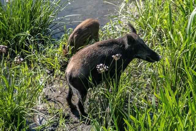 Dziki w powiecie poznańskim zaatakowały kobietę z dziećmi i psem.