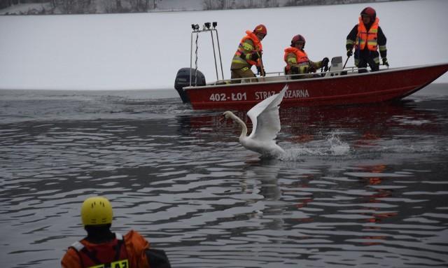Dzisiaj (12.01.2020) miasteccy strażacy, komendant straży miejskiej oraz inspektor stowarzyszenia Bezdomny Kundelek przeprowadzili udaną akcję odłowienia łabędzia pływającego w jeziorze Lednik w Miastku. Ptak był ranny.