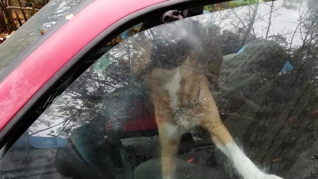 Zwierzęta zamknięte w samochodach na gdańskiej Oruni. Nie miały jedzenia i wody