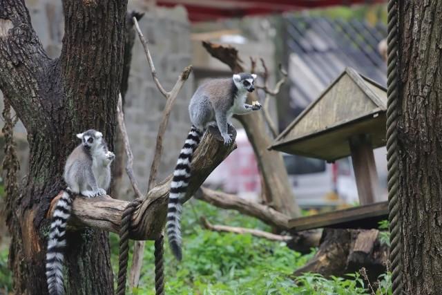 Lemury to zwierzaki bardzo wdzięczne, ale na adopcję czeka również wiele innych.