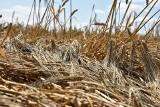 Szacowanie strat w rolnictwie 2021. Ryszard Kamiński o tym, jak obecnie wygląda [wideo]