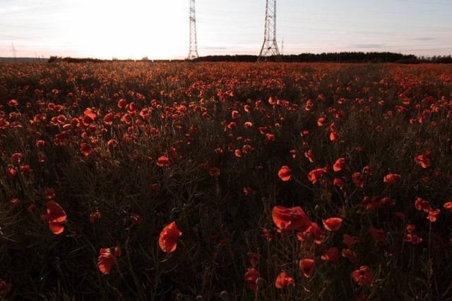Niedaleko Ślesina kwitnie ogromne pole maków. Czerwone pola pełne maków przyciągają prawdziwe tłumy! Po sezonie na kwitnący na żółto rzepak. To też nie lada gratka dla miłośników fotografii robiących plener fotograficzny.