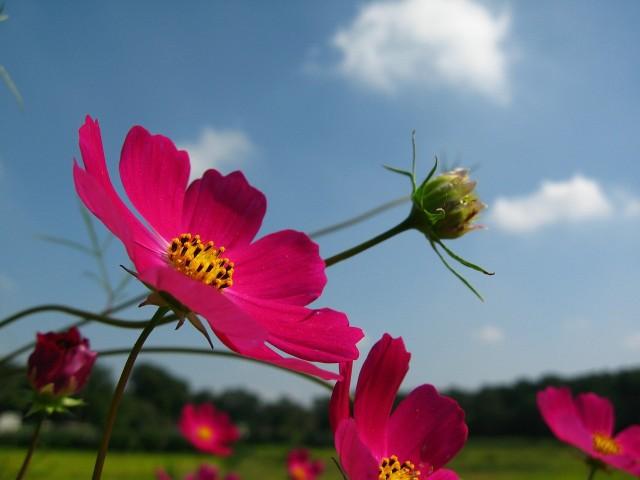 Kosmos kwiatKosmos ma zwiewne kwiaty, które wznoszą się do nieba na cienkich łodygach, które z oddali są niemal niewidoczne.