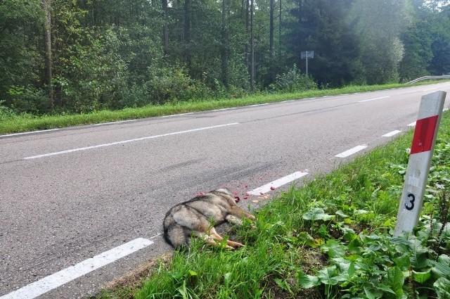 Najczęstszą przyczyną śmierci wilków jest potrącenie przez samochód.