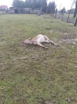 Zagryzione daniele przez wilki w zagrodzie w Stanicy. Hodowcy powinni uważać