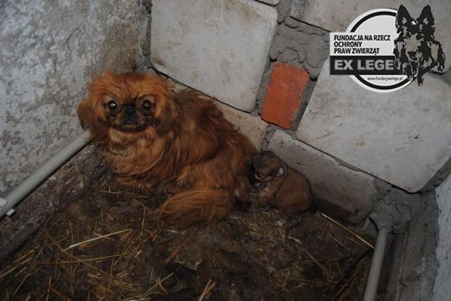 Pod Cycowem przebywały 24 zwierzęta, w większości psy. Żyły w drewnianych skrzyniach i karmiono je mieszanką śruty i chleba