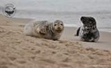 """Foki odpoczywające na plaży w Helu, stały się turystyczną atrakcją. """"Nie podchodźcie do fok!"""" - apelują naukowcy"""