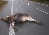 Na trasie Bydgoszcz – Nakło auto potrąciło sarnę. Ranne zwierzę trafiło do ośrodka w Kobylarni