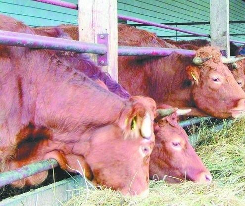 W Unii ubywa bydła mięsnego. U nas nie jest tak źle.Bydło mięsne rasy Limousine jest  najpopularniejsze w Europie