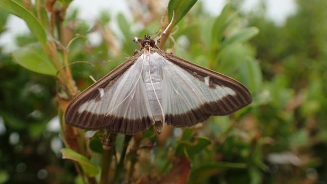 Ćma bukszpanowa to gatunek motyla, którego larwy potrafią w ciągu doby ogołocić rosnące w naszych ogrodach bukszpany.