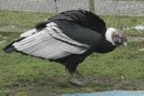 Nie żyje kondor Baltazar. 30 lat życia spędził w gdańskim ogrodzie zoologicznym