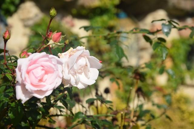Ogród różańcowy przy kościele bł. Karoliny w Tychach