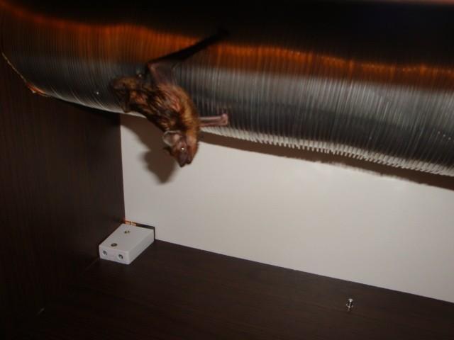 W pierwszej chwili nietoperza można było pomylić z myszą
