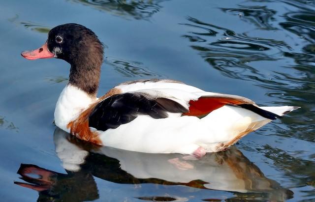 Ptasia wyspa będzie miejscem między innymi dla  kaczek norowych, znanych jako ohary, które są zagrożone wyginięciem i pod ścisłą ochroną