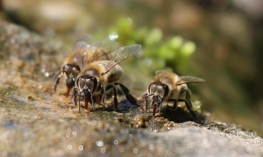 Poidełka dla pszczół domowej roboty. Jak je zrobić?