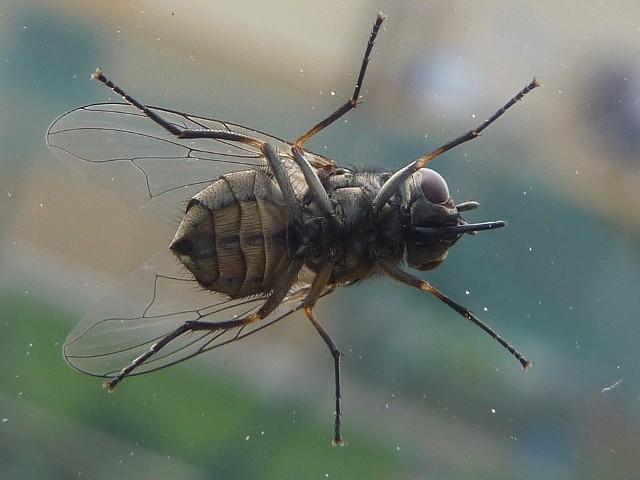 Mucha ma najwyżej 7,5 milimetra długości. Mimo, że jest taka niewielka, skutecznie potrafi uprzykrzyć lato także w mieszkaniu.