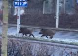 Wrocław: dziki wdarły się na ruchliwą ulicę w porannym szczycie komunikacyjnym [FILM]