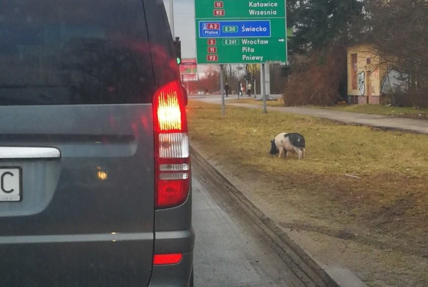 Pan Krystian sfotografował świnię, gdy błąkała się przy...
