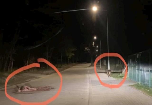Wilk upolował daniela w środku wsi, na terenie oświetlonym latarniami, około 50 metrów od przystanku autobusowego, na którym dzieci wsiadają, jadąc do szkoły.