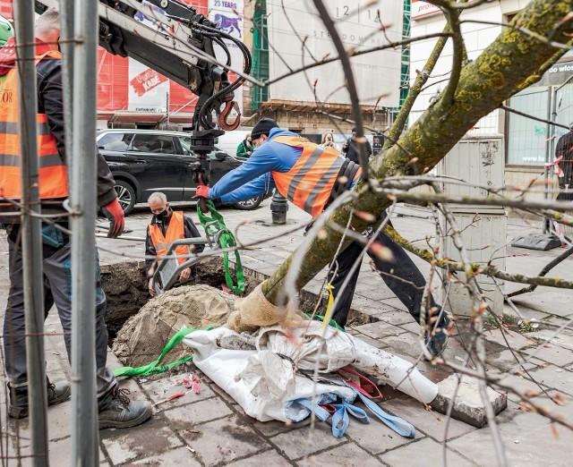Sadzenie dużego klona na ulicy Stradomskiej