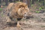 Kizia i Leoś zostają w poznańskim zoo. O losie lwów ostatecznie zadecydował minister klimatu i środowiska