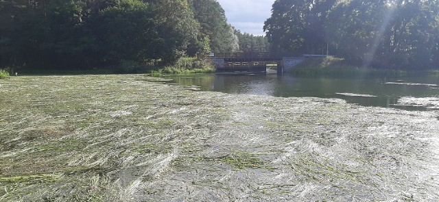Wielki Kanał Brdy w Barłogach został zanieczyszczony skoszonymi roślinami