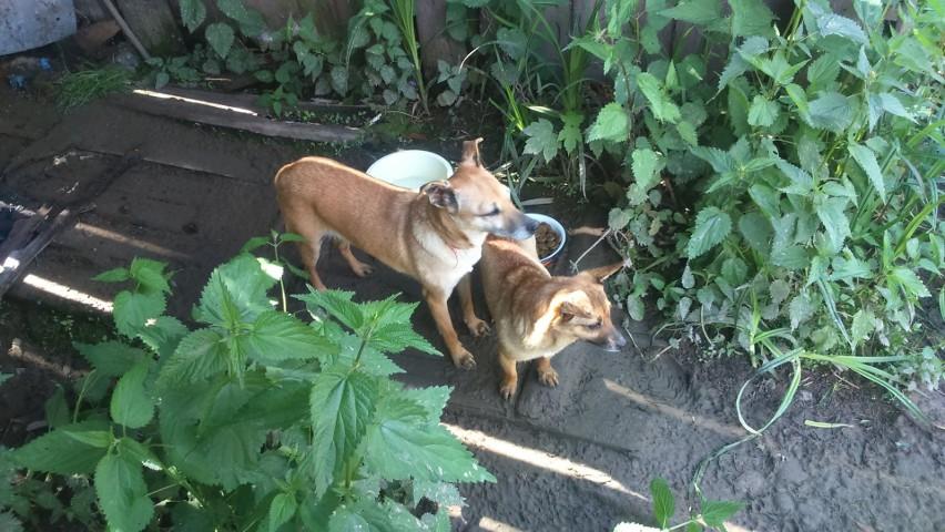 W Korzennej hodowali psy na smalec. Inspektorzy uratowali...