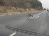 Wilk na drodze w okolicy Trzebicza. Internauci przerażeni tym, co niósł w pysku