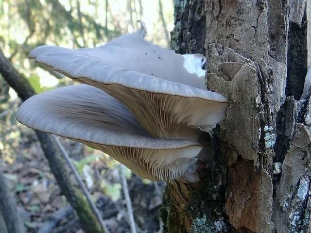 Grzyb jadalny, bogaty w wiele wartości odżywczych, ma krótki, kilkucentymetrowy trzon, natomiast średnica kapelusza osiąga ponad 20 cm, zazwyczaj rośnie w postaci skupionych grup.